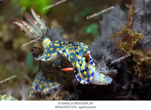 Feeding blue Nudibranch, Hypselodoris obscura, Alam Batu, Bali, Indonesia