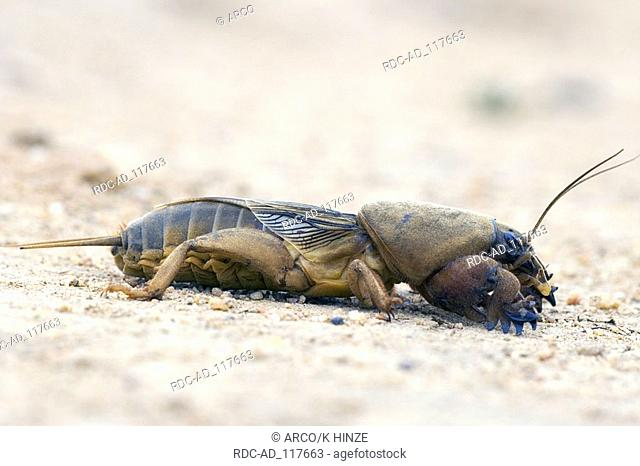 European Mole Cricket Bulgalria Gryllotalpa gryllotalpa side
