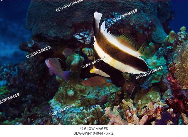Pennant bannerfish Heniochus chrysostomus swimming underwater, Papua New Guinea