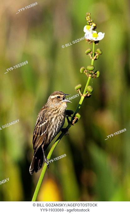 Red-winged Blackbird (Female) - Green Cay Wetlands - Boynton Beach, Florida USA