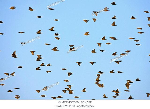 common starling (Sturnus vulgaris), flying flock, Germany, Rhineland-Palatinate