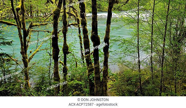 Elwha River in spring with shoreline trees, Olympic NP, Elwha Unit, Washington, USA