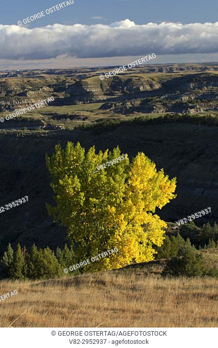Autumn cottonwood from Buck Hill, Theodore Roosevelt National Park-South Unit, North Dakota