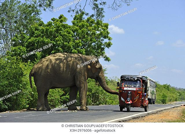 free wild elephant waiting for gift from travellers on the edge of the road near Lunugamvehera National Park, Sri Lanka, Indian subcontinent, South Asia