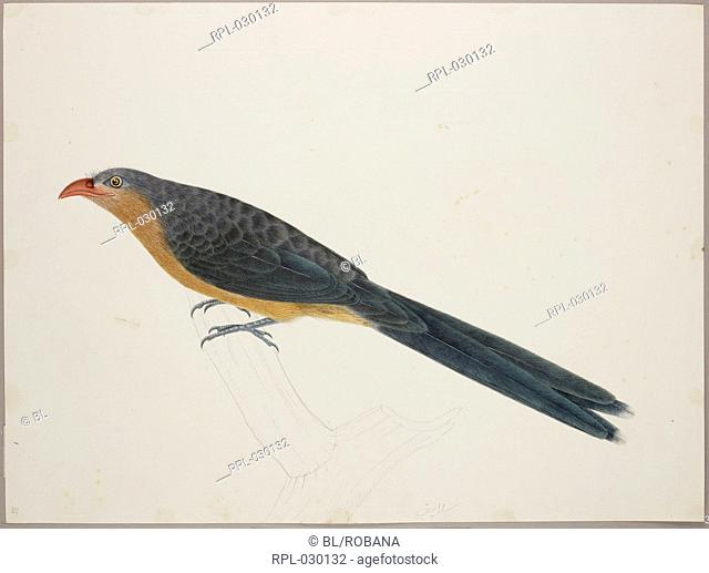 Red-Billed Malkoha 'Zanclostomus Javanicus'. From an album of 51 drawings of birds and mammals made at Bencoolen, Sumatra, for Sir Stamford Raffles