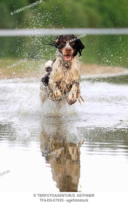 running English Springer Spaniel