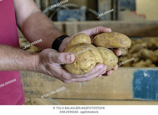 Potato production, Viuda de Antonio Serra, sa Pobla, Mallorca, Balearic islands, Spain