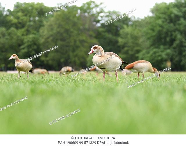 08 June 2019, Hessen, Frankfurt/Main: Nile geese eat on the meadow of the Frankfurt Ostpark. In order to keep the annoying wild geese away from the sunbathing...