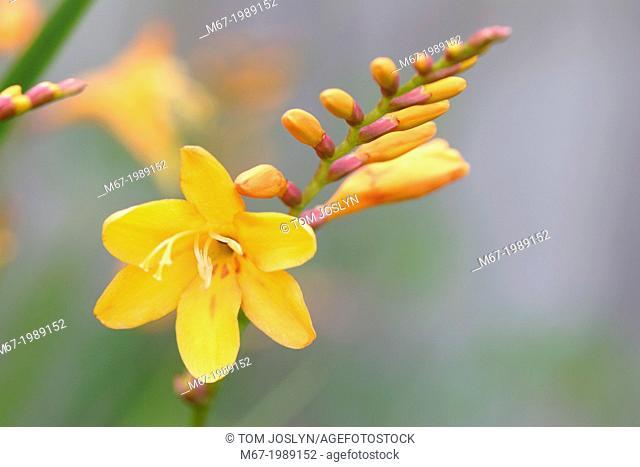Montbretia (Crocosmia masoniorum) flower close up, England, UK