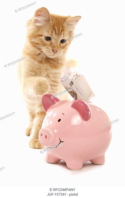 Siberian cat - kitten with money at piggy bank