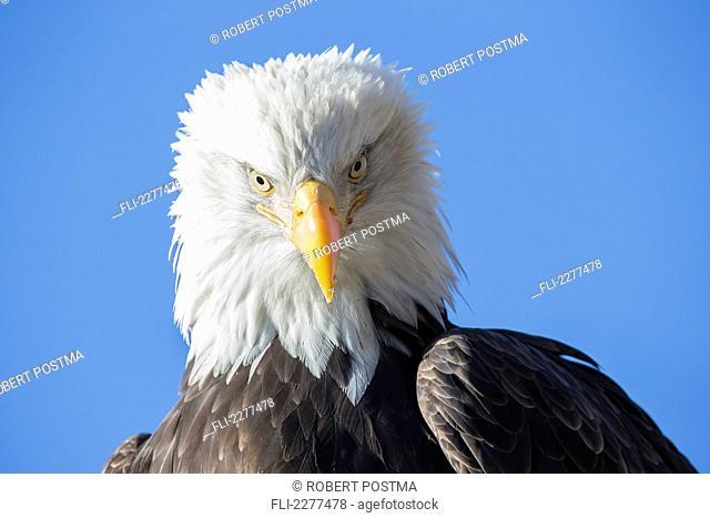 American bald eagle;Alaska usa