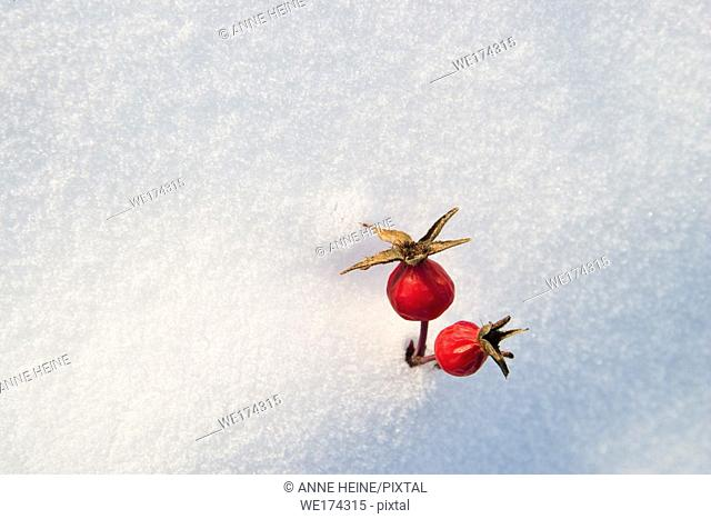 Two rosehip fruits peaking through snow