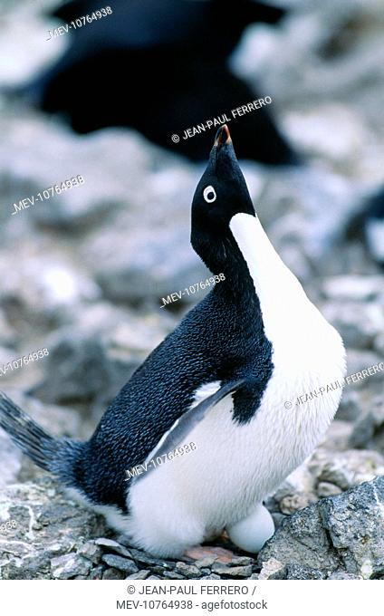 Adelie Penguin - incubating egg (Pygoscelis adeliae)