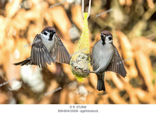 Eurasian tree sparrow (Passer montanus), landing on a fat ball, Germany, Bavaria, Niederbayern, Lower Bavaria
