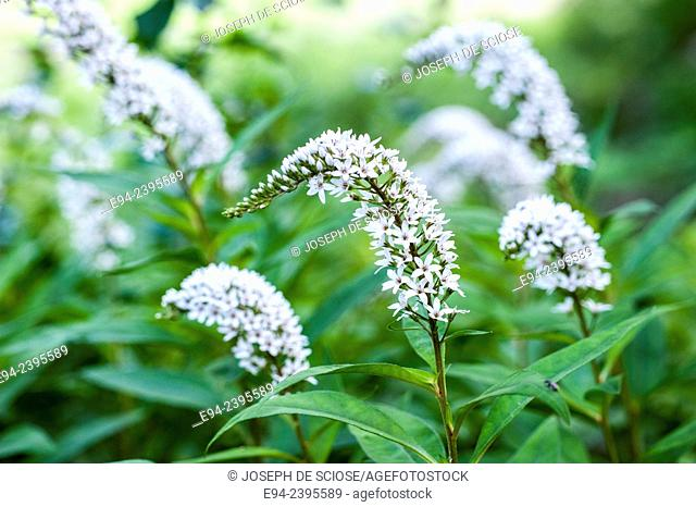 Close up of Gooseneck Loosestrife flowers in the summer. Alabama USA