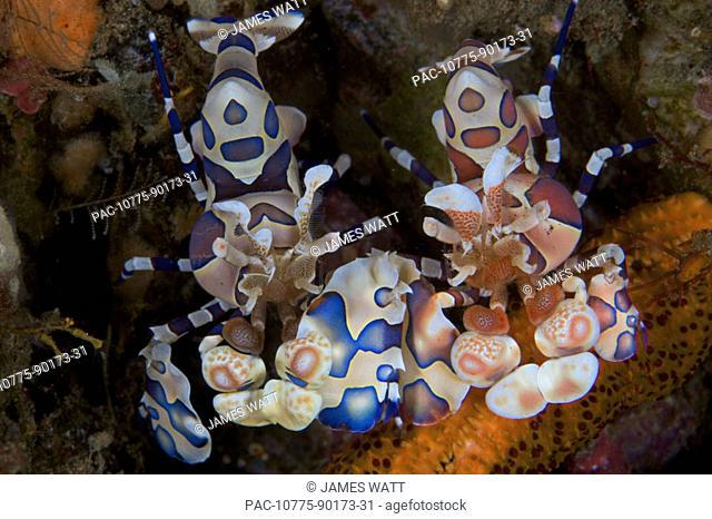 Indonesia, Bali, Tulumben, Pair of harlequin shrimp (Stenopus pyronotu), blue variety