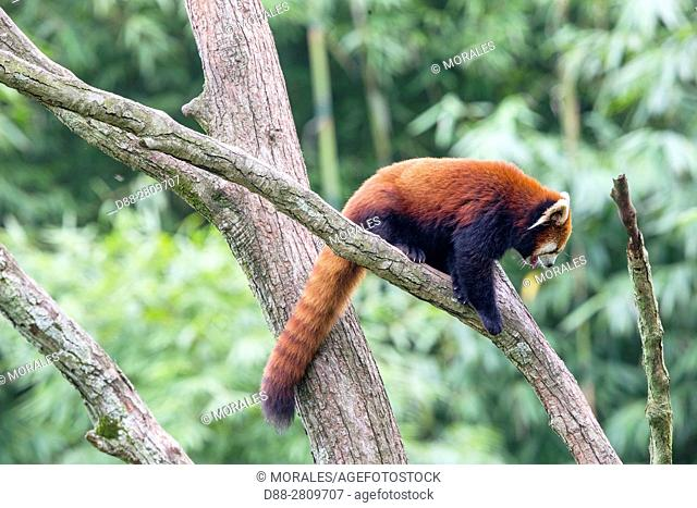 Asia, China, Sichuan, Research Base of Giant Panda Breeding or Chengdu Panda Base, Red Panda (Ailurus fulgens), captive, in a tree