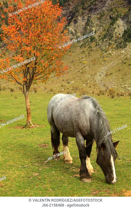 horse grazing on the plains of La Larri in the valley Pineta. National park Ordesa and Monte Perdido. Huesca