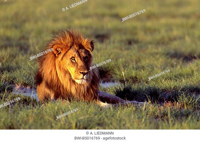 lion (Panthera leo), resting on meadow in evening light, Namibia, Etosha National Park