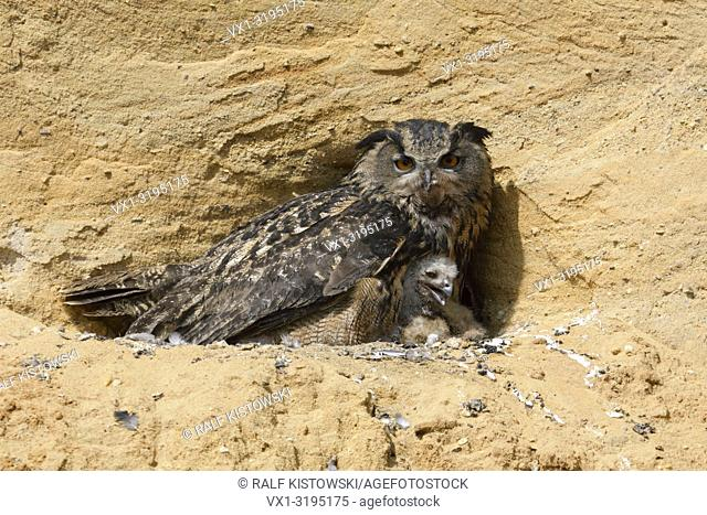 Eurasian Eagle Owl (Bubo bubo), breeding site, adult gathering its chicks, in a sand pit, wildlife, Europe