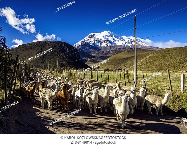 Alpacas and Chimborazo Volcano, Chimborazo Province, Ecuador