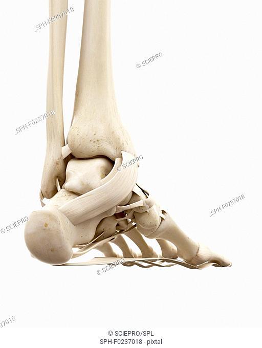 Illustration of the human ankle bones