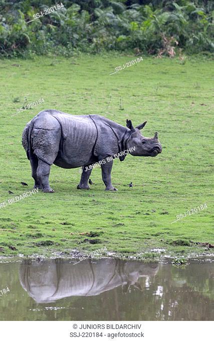 Indian Rhinoceros (Rhinoceros unicornis). Adult standing next to water hole. Kaziranga National Park, India