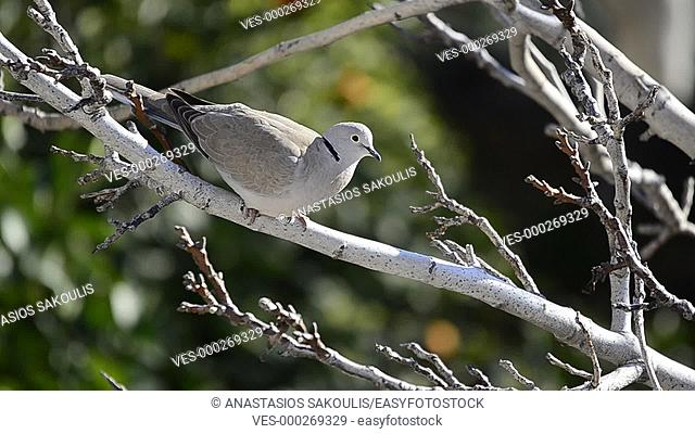 Collared Dove - Streptopelia decaocto, Crete