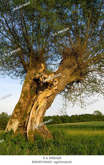 common osier (Salix viminalis), old tree with fresh green foliage in spring, Germany, Rhineland-Palatinate