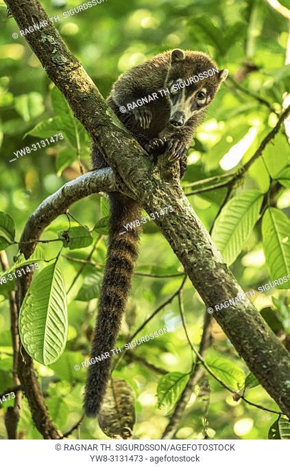 White-Nosed Coati, Maquenque National Wildlife Refuge, Costa Rica