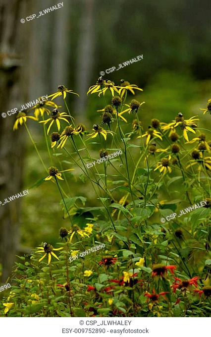 Wildflowers, Clingmans Dome area, Great Smoky Mtns