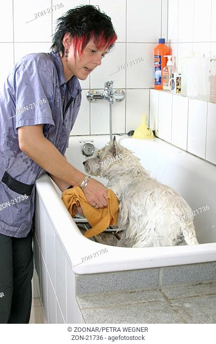 Woman drying West Highland White Terrier with towel / Frau trocknet Westhighland White Terrier mit Handtuch ab / abtrocknen, trocknen, Hundefriseur