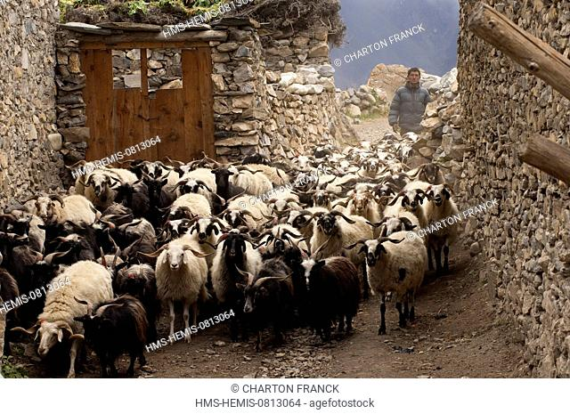 Nepal, Karnali Zone, Dolpo Region, Charkha, return of the flock