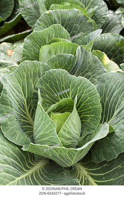 Cabbages growing in a field on La Palma, Canary Islands, Spain