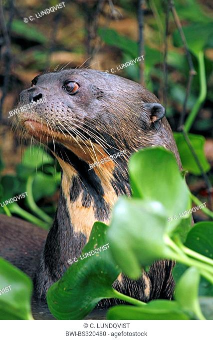 giant otter (Pteronura brasiliensis), in water surrounded by water hyacinths, Brazil, Mato Grosso, Pantanal, Rio Cuiaba