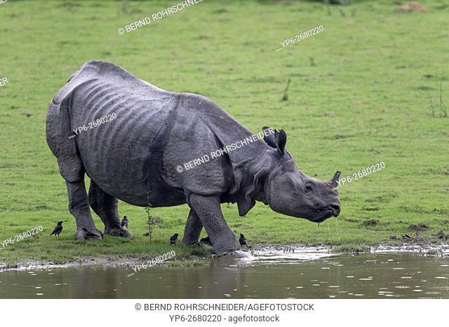 drinking Indian rhinoceros (Rhinoceros unicornis), threatened species, and Jungle mynas (Acridotheres fuscus), Kaziranga National Park, Assam, India