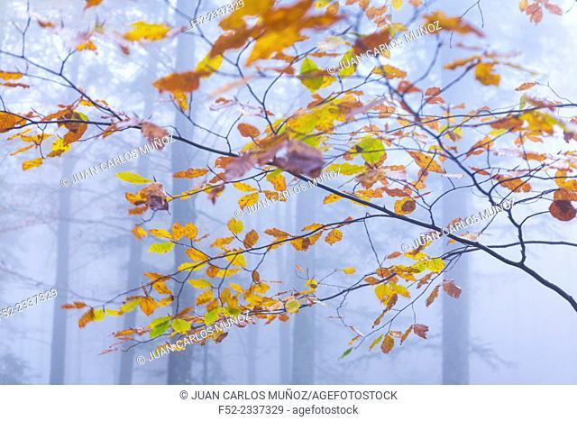 Beech forest in autumn, Ilirska Bistrica, Green Karst, Slovenia, Europe