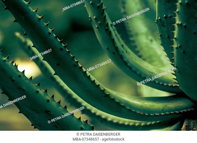 Aloe vera - cacti and succulents - frugal plants in the conservatory, close-up