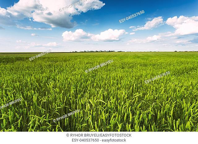 Backdrop Of Green Wheat Ears Field On Cloudy Blue Sky Background. Spring Season