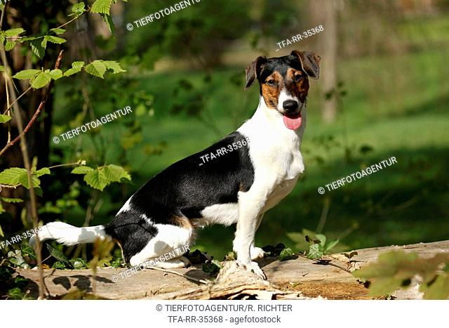 Jack-Russell-Dachshund-Mongrel