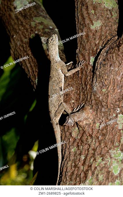 Flying Lizard (Draco volans) in tree, Klungkung, Bali, Indonesia