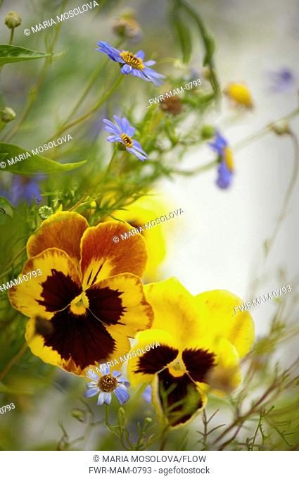 Viola x wittrockiana cultivar, Pansy, Yellow subject