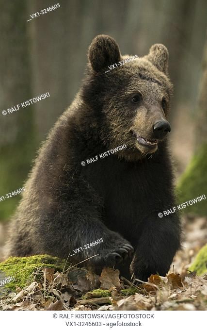 European Brown Bear / Europaeischer Braunbaer ( Ursus arctos ), sitting on the ground of a deciduous forest, playing in dry leaves.