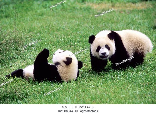 giant panda (Ailuropoda melanoleuca), two eight months old Giant Pandas playing in the research station of Wolong, national animal of China, China, Sichuan