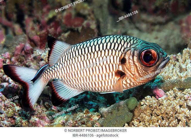 Shadowfin soldierfish (Myripristis adusta), Indian Ocean, Maldives
