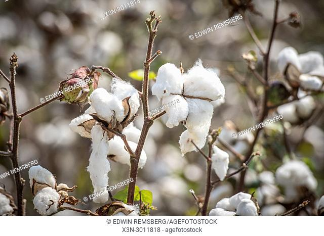 Plump and fluffy cotton bolls ready to for picking, Tifton, Georgia. USA