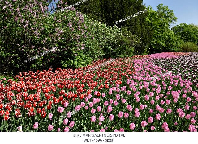 Pink Rosalie with red Kelly and purple Synaeda blue tulip flowers and lilacs at Commissioners Park Canadian Tulip Festival Ottawa