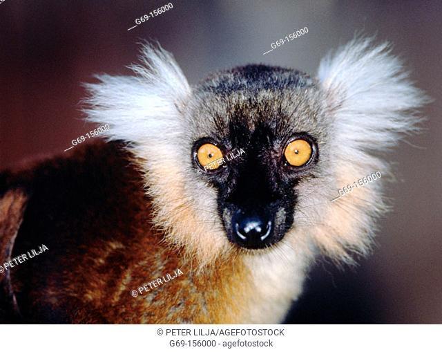 Black lemur (Eulemur macaco macaco). Nosy Komba. Madagascar