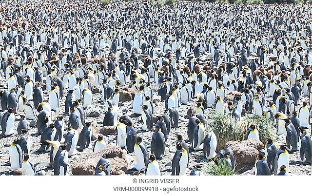 King penguin Aptenodytes patagonicus dense colony. Gold Harbour. South Georgia