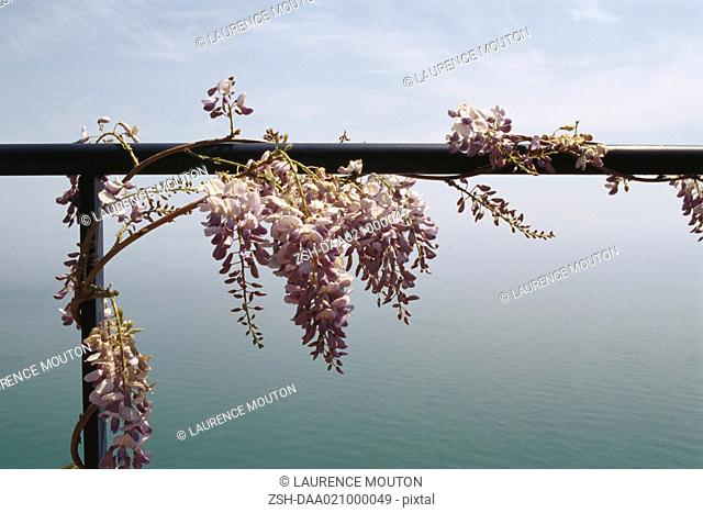 Wisteria vine growing on railing, sea in background